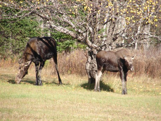 Greenville, ME: Mom and Baby Moose eating fall apples - wildlife safari.