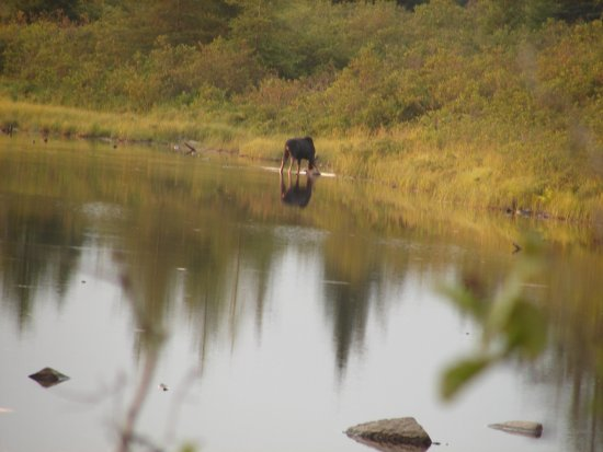 Greenville, ME: Moose on the water - animal safari.