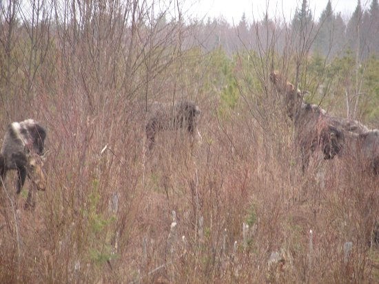 Greenville, ME: Total moose 5 in field, ragged springtime. Wildlife Safari