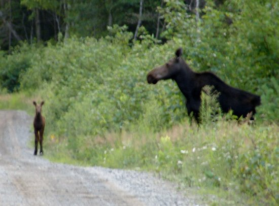 Greenville, ME: Moose Safari - Mom and baby - too cute!