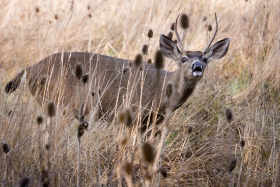 San Rafael, CA: We saw many deer, including this young buck snacking a few feet from the trail.