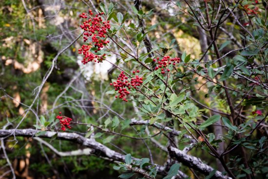 China Camp State Park: Festive Toyon (aka California holly) decorates the Bay Trail
