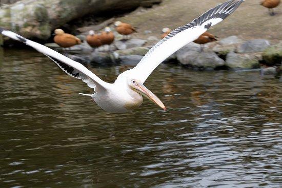 神戸市, 兵庫県, 大きな鳥の飛ぶ姿は迫力があります