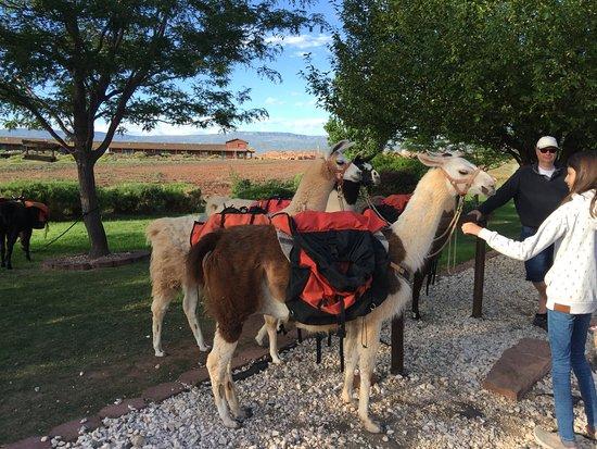 Torrey, UT: Llamas