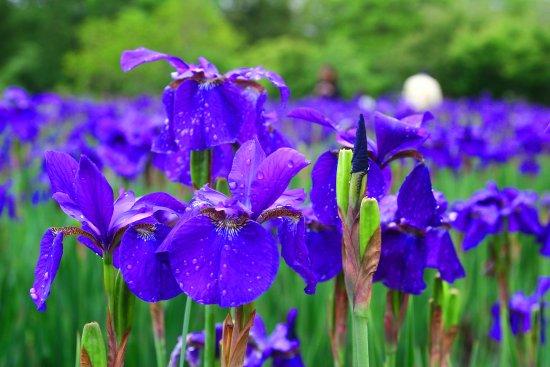 Miyakonojo, Ιαπωνία: 初夏に咲く・2