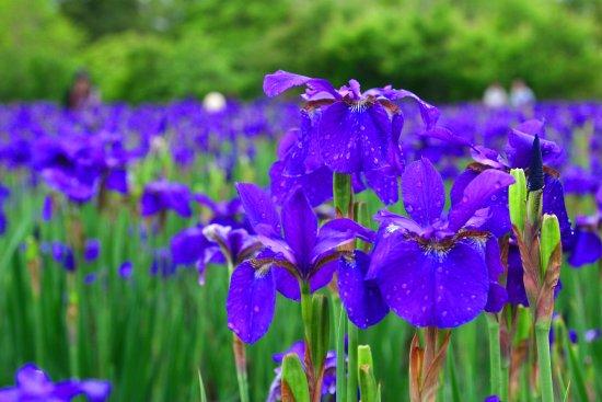 Miyakonojo, Ιαπωνία: 初夏に咲く・3