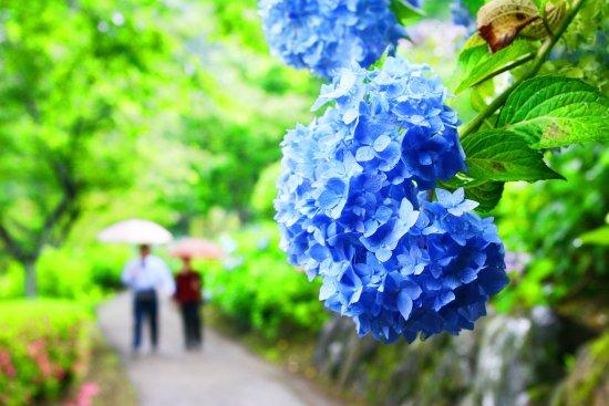 Miyakonojo, Ιαπωνία: 初夏のあじさい公園・2