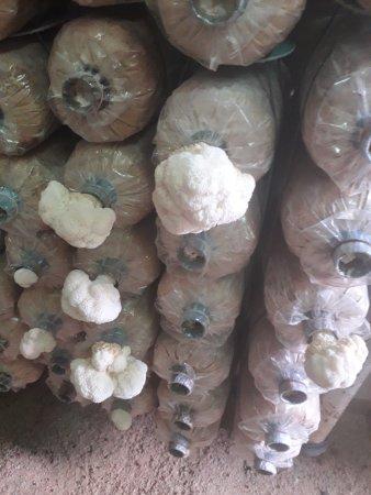 Pak Chong, Thailand: mushroom sprouting