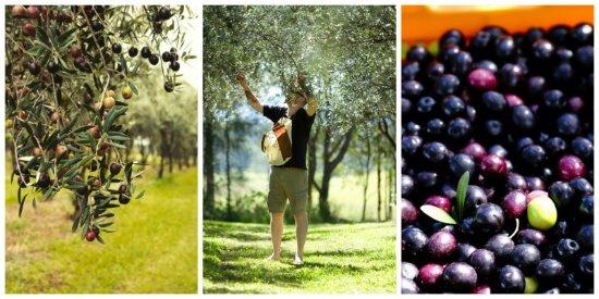 โพโคลบิน, ออสเตรเลีย: Hanging Tree Wine - Olive Picking