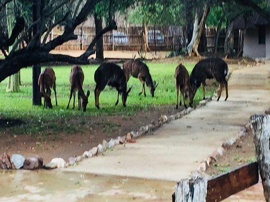 Shiduli Private Game Lodge: Animales alrededor de la habitacion zona de Piscina