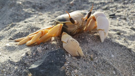Masirah Island, Oman: ghost crabs