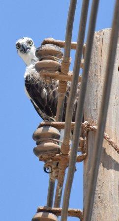 Masirah Island, Oman: osprey