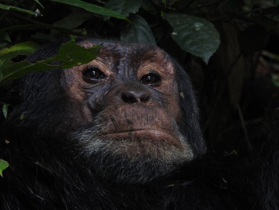 Entebbe, Uganda: Chimpanzee male @ Kibale