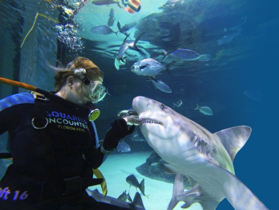 Marathon, FL: Our unique tanks allow guests an up close view and safe hand feeding of our sharks