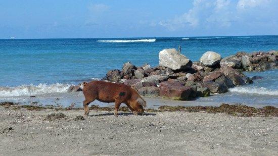 Nisbet Plantation Beach Club : a wild pig on the beach!
