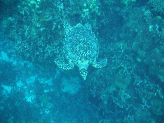 Iberostar Cozumel: Sea Turtle while snorkling