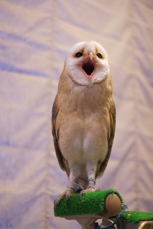 Owl Cafe & Bar Owl Village Kichijoji: ペリットを吐こうと頑張っているノエちゃん!歌ってるみたいね♪