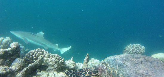 Bandos Maldives: Blalck tip reef shark, cruising by while I film a turtle
