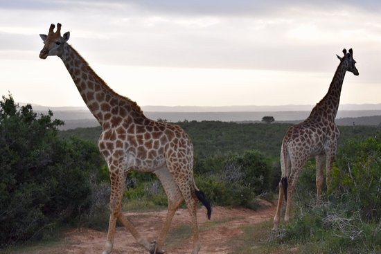 Kenton-on-Sea, Afrika Selatan: Giraffes @ Kariega
