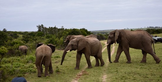 Kenton-on-Sea, Afrika Selatan: Elephants @ Kariega