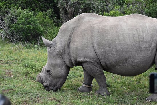 Kenton-on-Sea, Afrika Selatan: Rhino @ Kariega