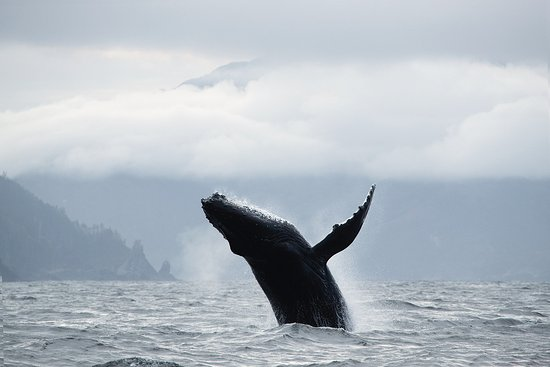 Moresby Island, Καναδάς: Humpback whales frequent the area near the lodge throughout the season