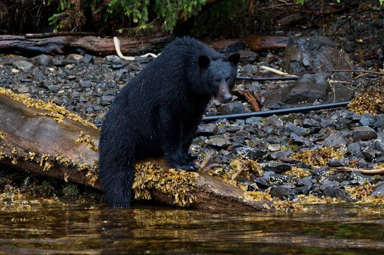 Moresby Island, كندا: Local wildlife