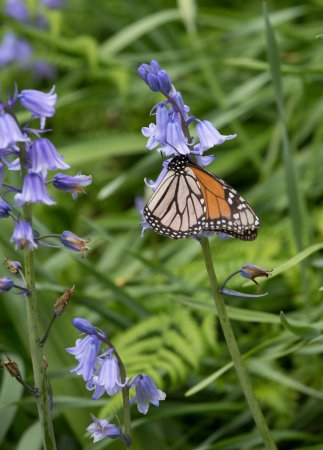 Tupare: Monarch butterfly feeding on bluebell flower