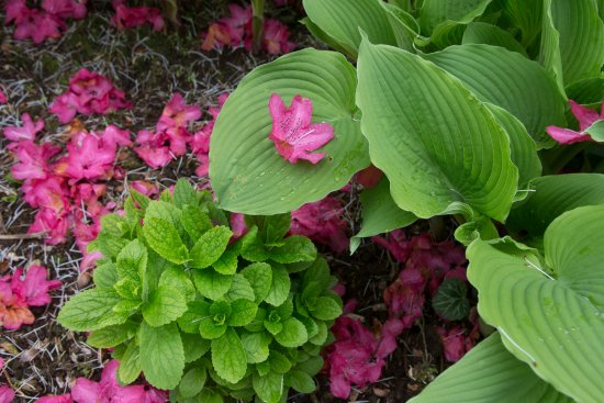 Tupare: Azalea flower on hosta leaf