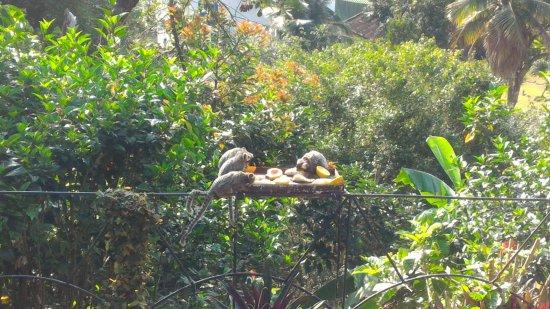 Pousada Morro do Forte: Miquinhos no café da manhã