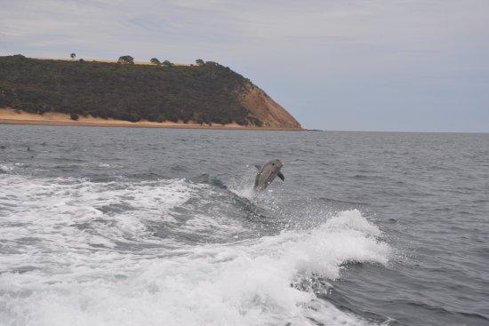 Kangaroo Island Marine Adventures: dolphin