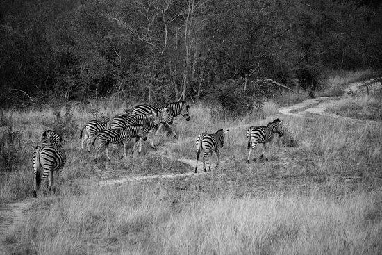 Singita Private Game Reserve, South Africa: Zebras