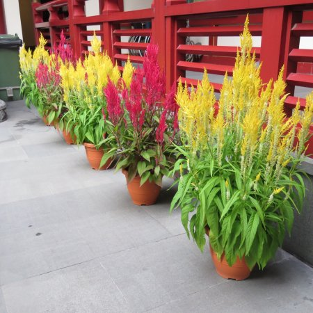 Buddha Tooth Relic Temple and Museum: Pre New Year blooms in the entry courtyard.