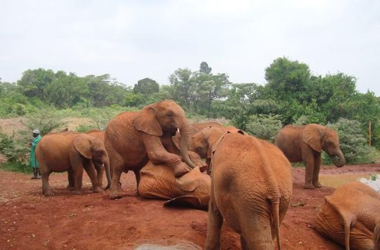Elephants Orphanage Tour From Nairobi...