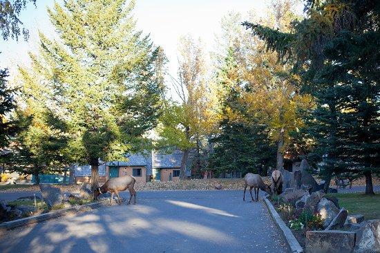 Buffalo Mountain Lodge: Les animaux sauvages se baladent dans l'hôtel