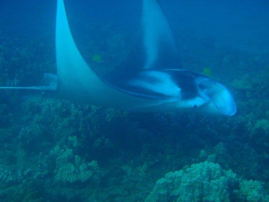 B&B Scuba: manta ray, Maui