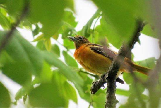 Spruce Creek, PA: Baltimore Oriole