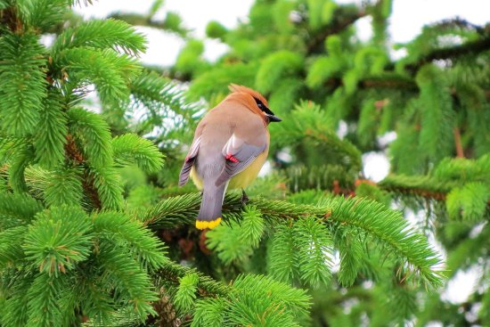 Spruce Creek, PA: My first time photographing a Cedar Waxwing- :)
