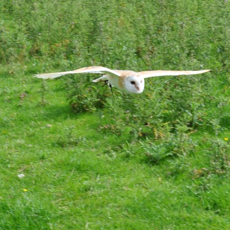 Llangynhafal, UK: Sharpie in flight