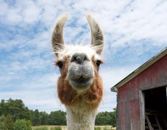 เบลฟัสต์, เมน: Bruce the Llama!