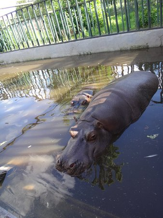 Калининградский зоопарк: бегемоты