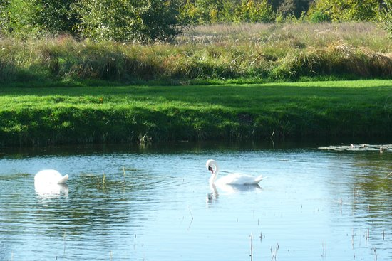 Feering, UK: Swans on the lake next to the hotel