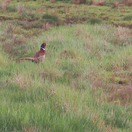 Hengistbury Head : Pheasant in the grass