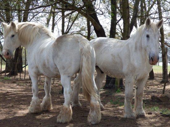 Outeniqua Moon Percheron Stud and Guest Farm: Beautiful enormous horses