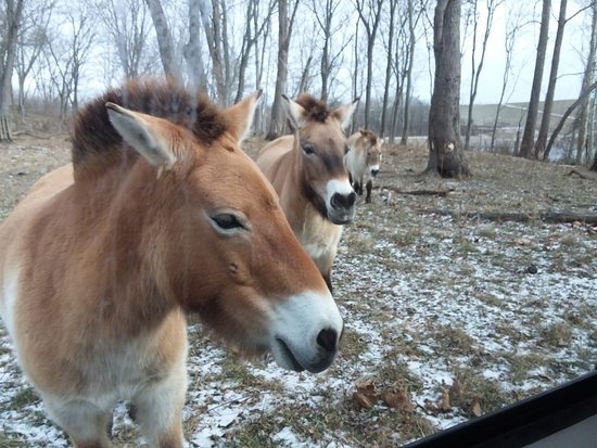 Cumberland, OH: Female wild horses - closely linked to ancient wild horses