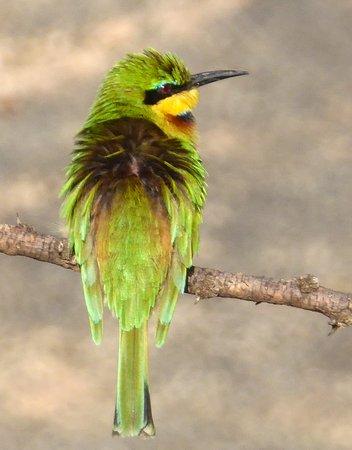 Porini Mara Camp : Bee-eater