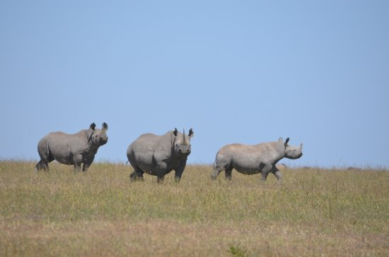 Porini Rhino Camp: Whito rhinos, stars of Ol Pejeta conservancy.