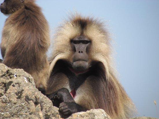 Simien Mountain Trekking and Tours: Galeda Baboon, Simien Mountains, Ethiopia