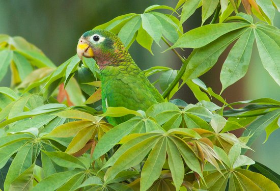 An endemic Yellow-billed Parrot in Hope Gardens, Jamaica