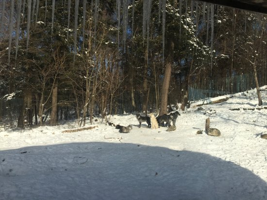 Haliburton Forest and Wild Life Reserve: wolves